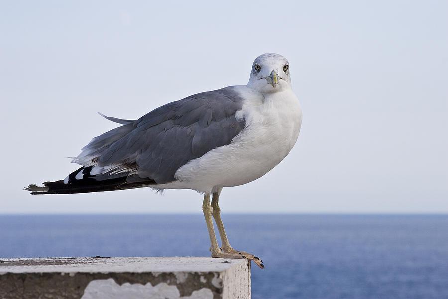 Bird Photograph - Seagull  by Jakub Buza