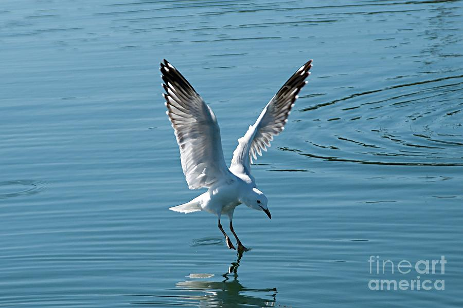 Seagull Landing with Water Reflections. by Geoff Childs