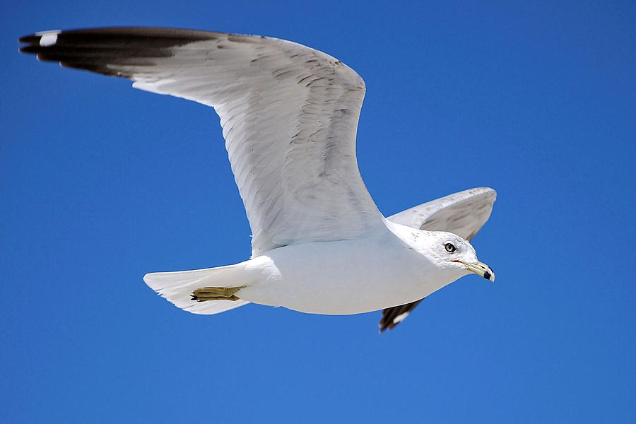 Seagull by Ludwig Keck