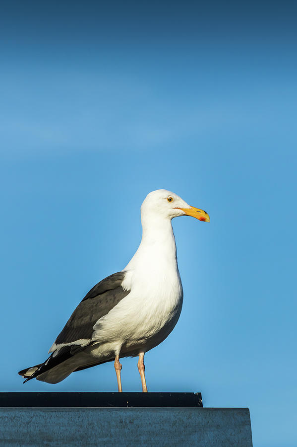 Nature Photograph - Seagull by Martin Alonso