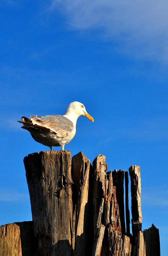 Seagull Photograph - Seagull On A Dock 2 by Andrew Dinh