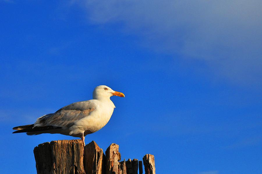 Seagull Photograph - Seagull On A Dock by Andrew Dinh