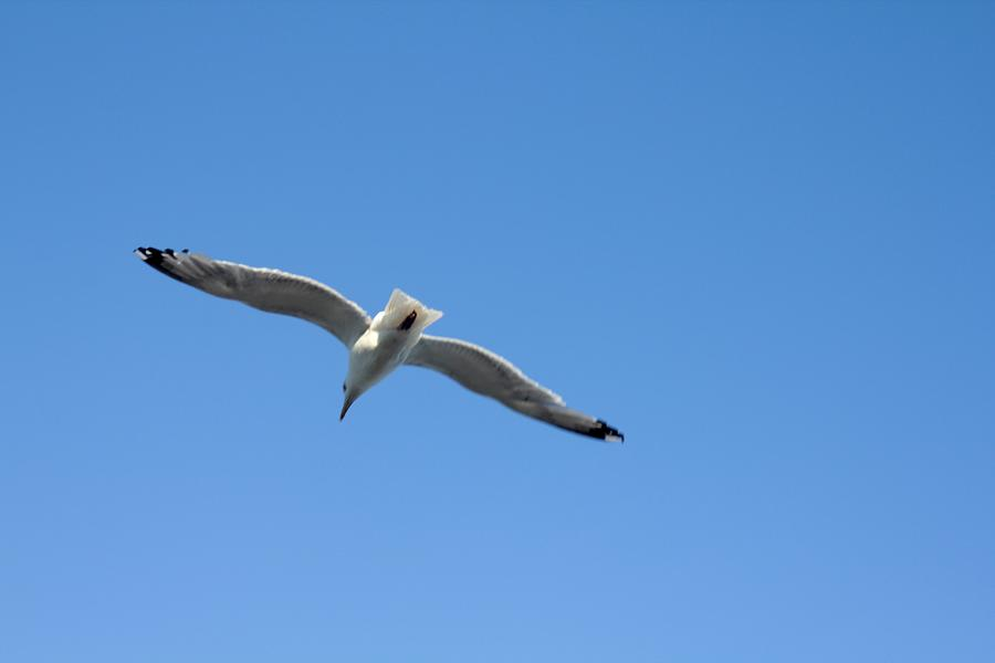 Nature Photograph - Seagull Overhead Leaving by Robert Morin