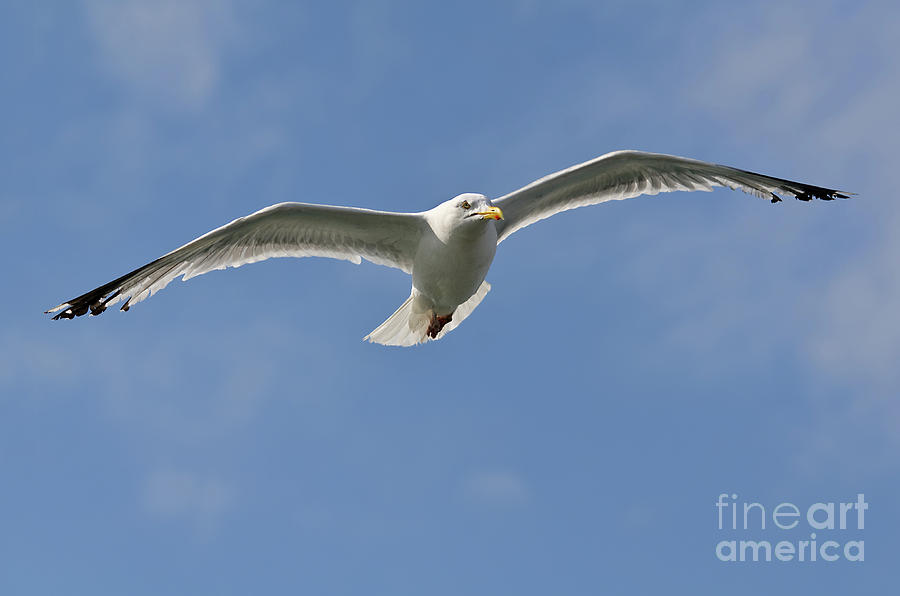 Gull Photograph - Seagull Patrol by Steev Stamford