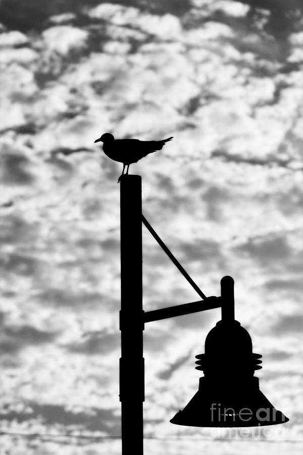 Seagull Silhouette 2 Photograph by Kelly Nowak