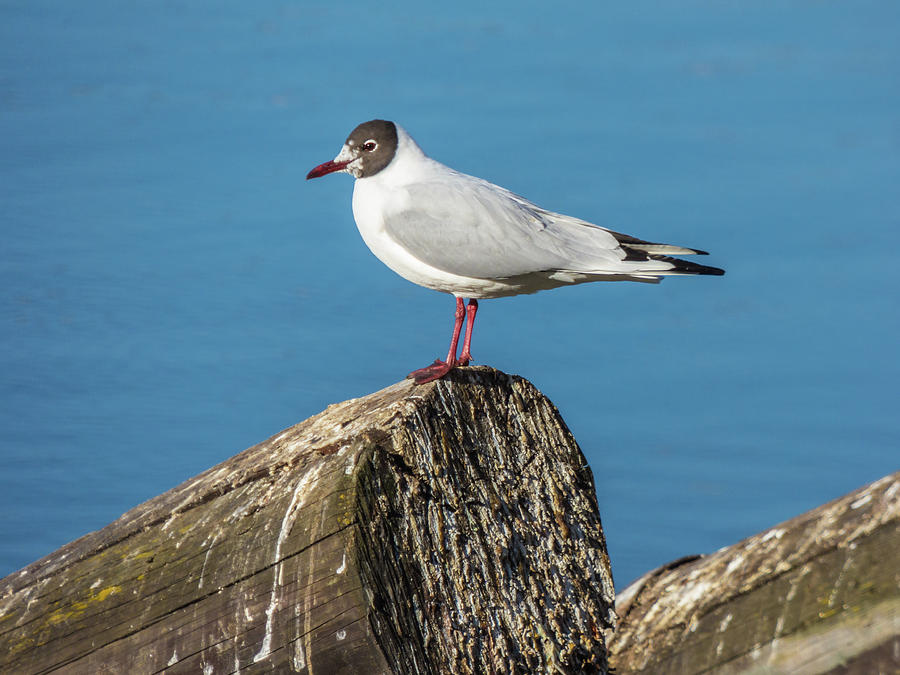 Seagull Sitting On Log On River Photograph