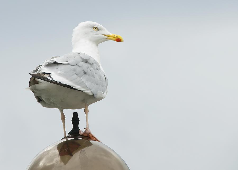 Bird Photograph - Seagull by Svetlana Sewell