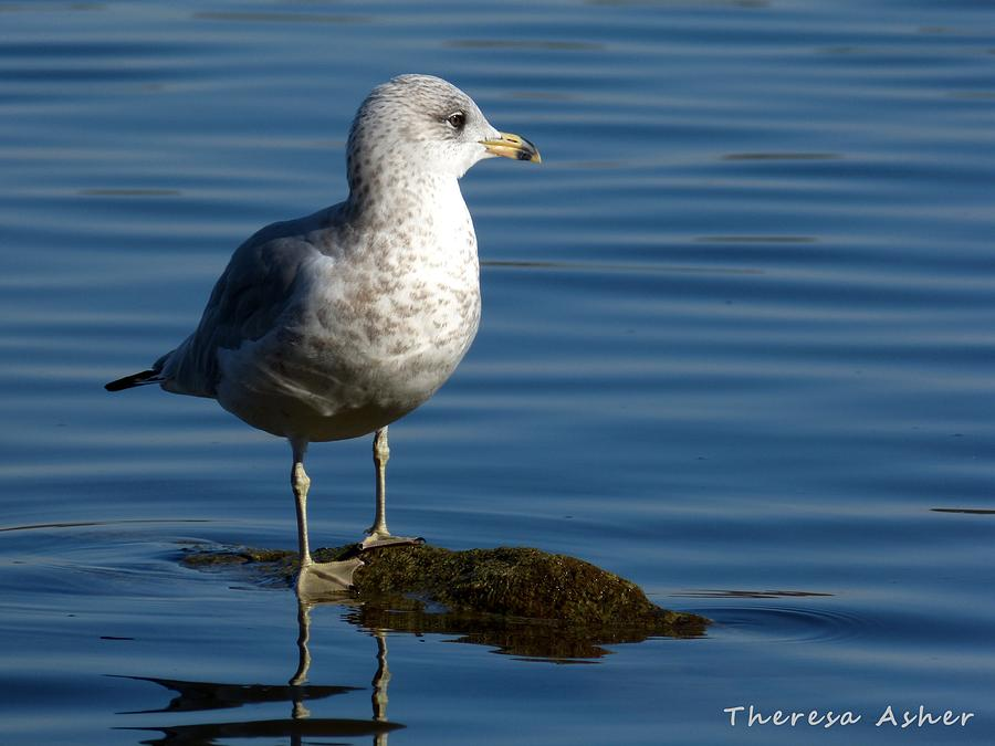 Seagull Photograph - Seagull by Theresa  Asher