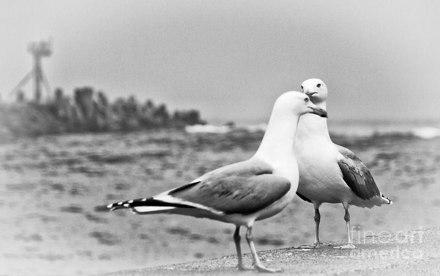 Seagulls In Love Beach Ocean Black White Print Photography Seascape Seagull Photograph By Al Nolan