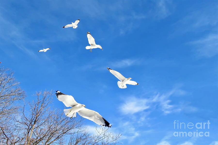 Seagulls Photograph - Seagulls In Winter Flight by Beth Myer