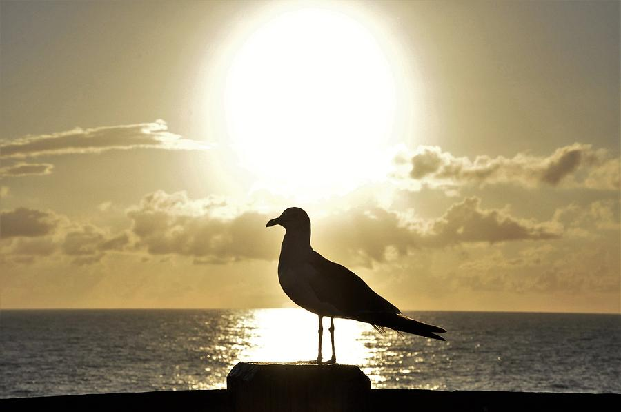 Sea Bird Photograph - Seagulls Sunrise Silhouette by Sally Falkenhagen