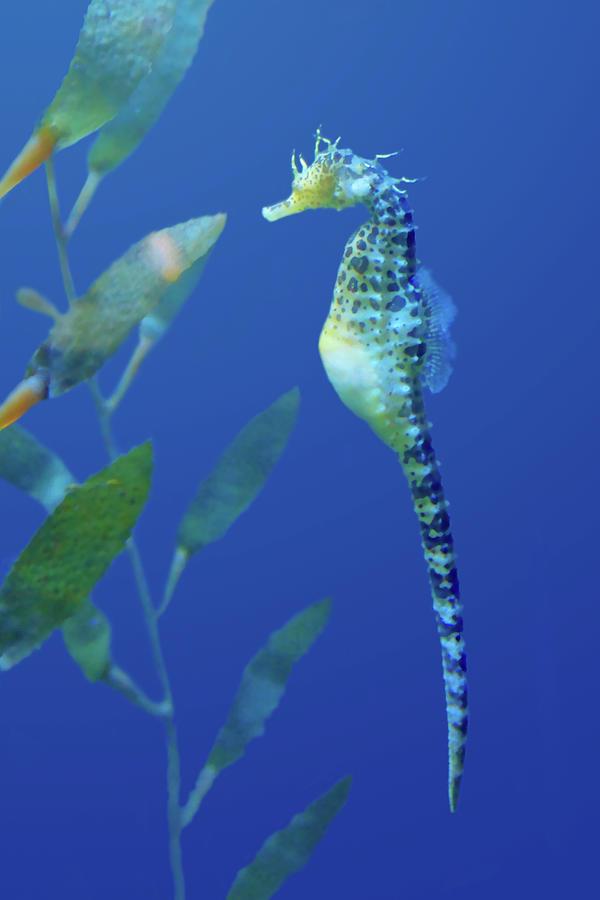 Aquarium Photograph - Seahorse by Nikolyn McDonald