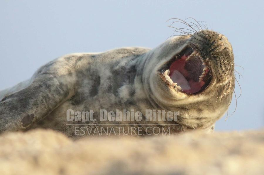 Seal 9979 by Captain Debbie Ritter