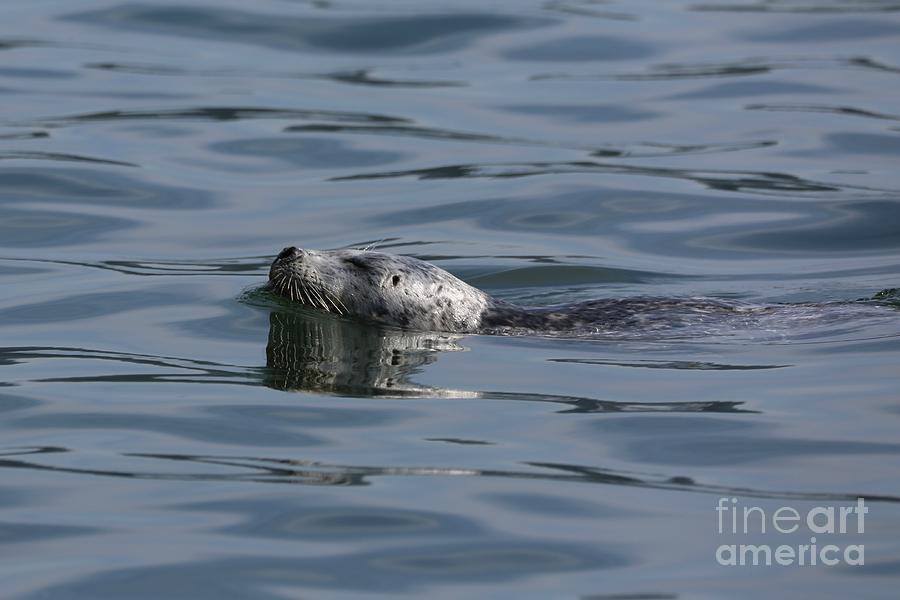 seal delight by Sheila Ping