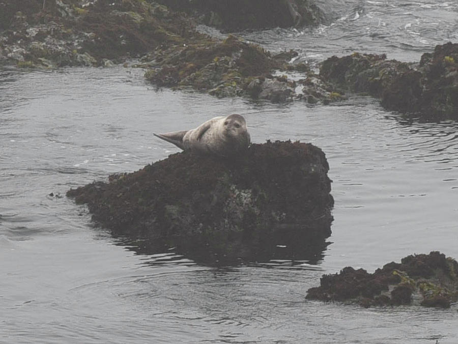 Ocean Photograph - Seal on a Rock by Rusty Photography by Richard Temkin