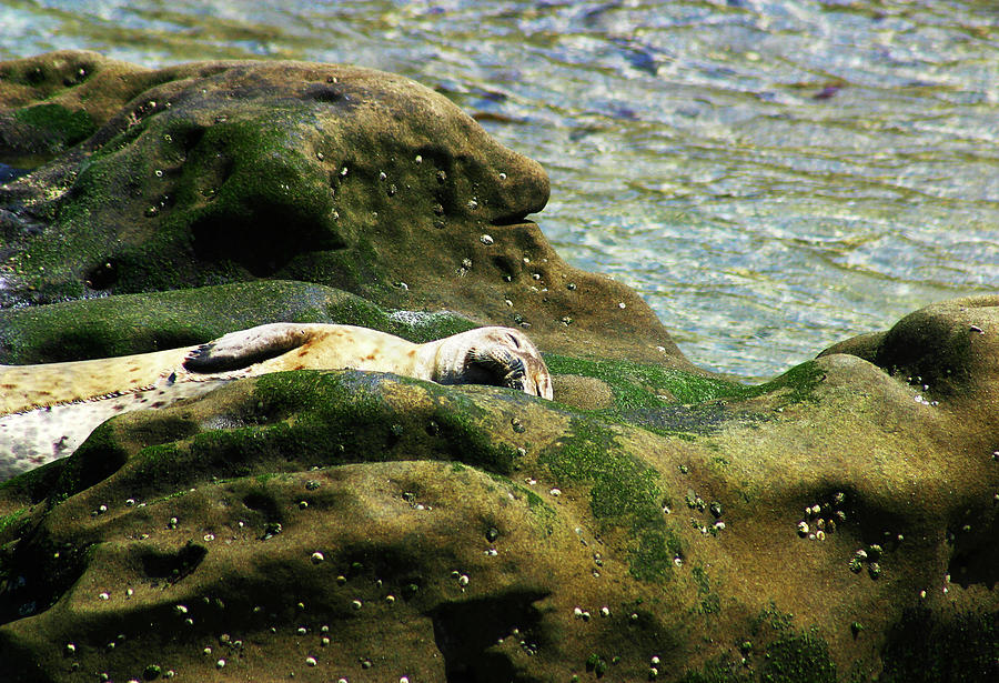 Seal Photograph - Seal On The Rocks by Anthony Jones