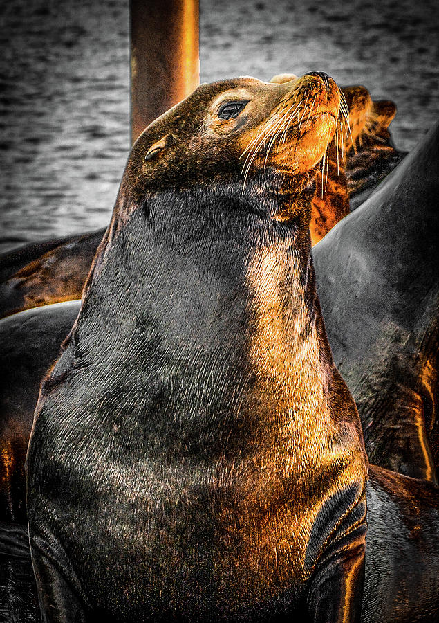 SeaLion 1 by Jason Brooks
