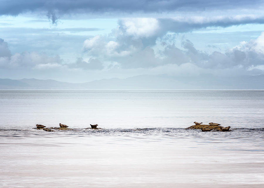 Seals Photograph - Seals at Clachan by Phillips and Phillips