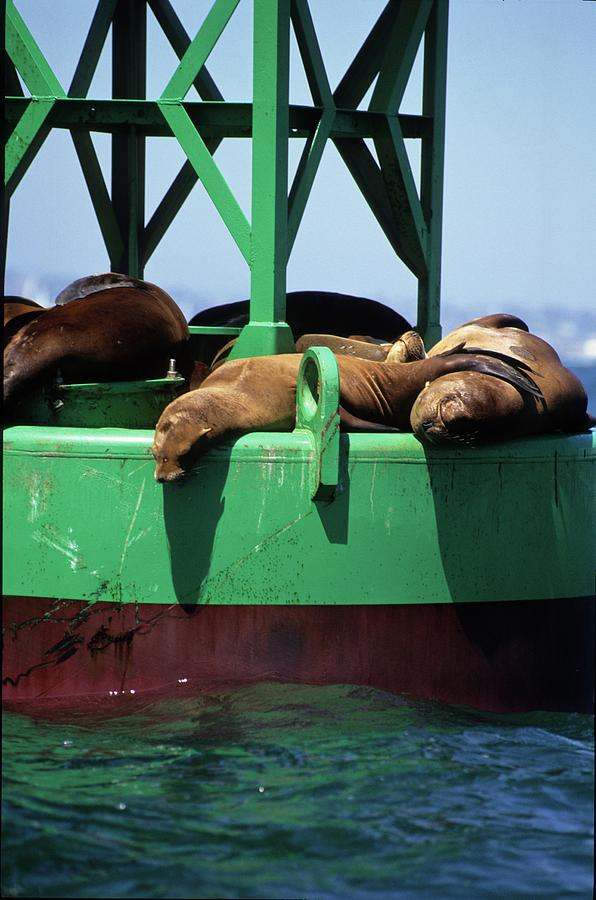 Seals on channel marker by David Shuler