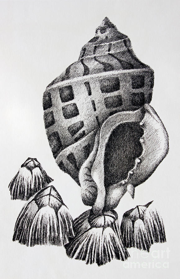 Seashell Print Drawing - Seashell And Barnacles by James Williamson