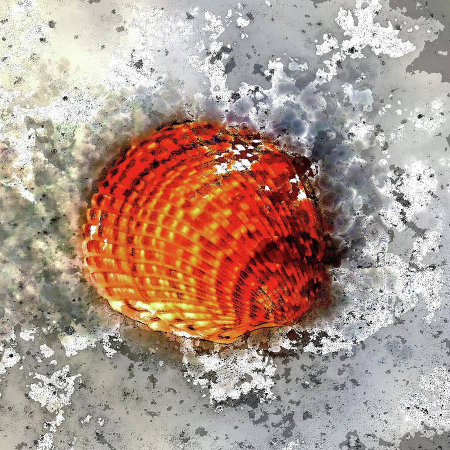 Atlantic Giant Cockle Photograph - Seashell Art - Square Format by HH Photography of Florida