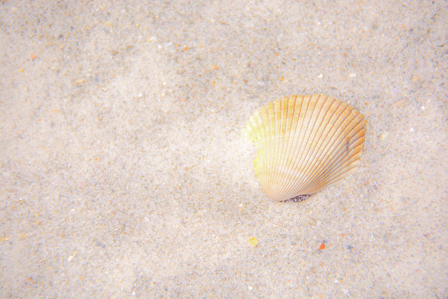 Seashell by Pamela Williams
