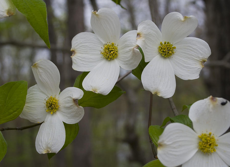 Flower Photograph - Season Of Dogwood by Andrei Shliakhau