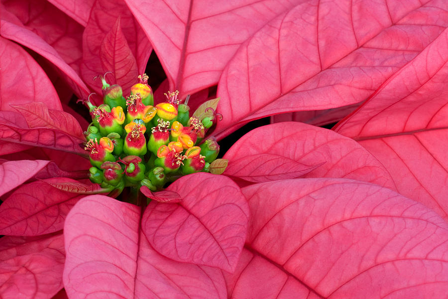 Pink Photograph - Seasons Greetings by Margaret Barry