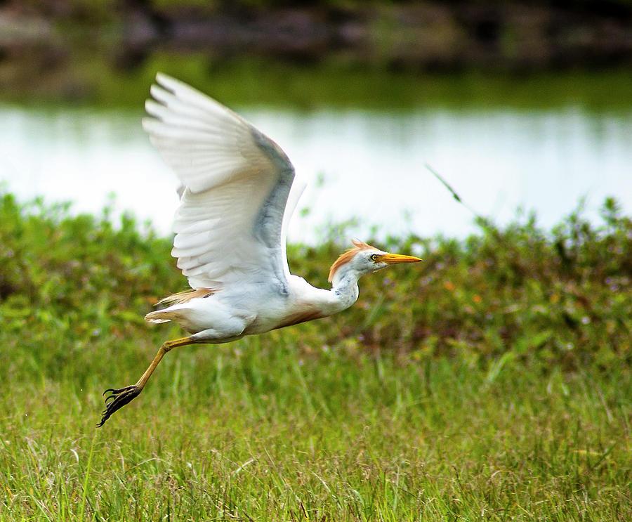 Cattle Egret Photograph - Second Flight by Norman Johnson