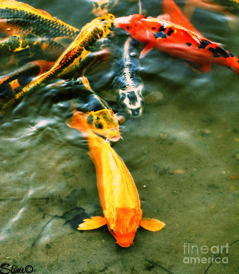 Koi Photograph - Secrets Of The Wild Koi 11 by September  Stone