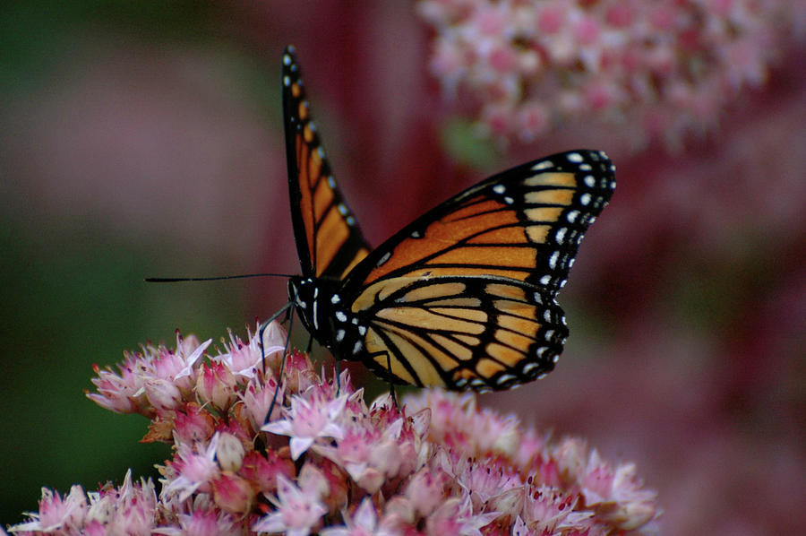 Sedum Butterfly by Melissa Lane