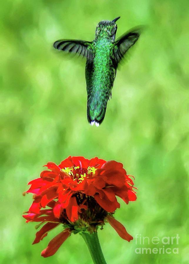 Hummingbird Photograph - See Ya Later by Sue Melvin