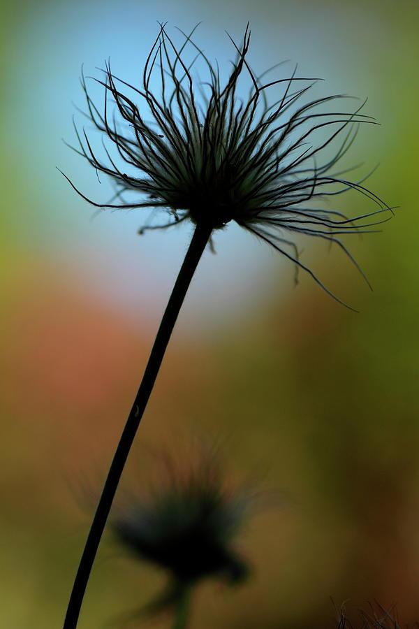 Seed-head Silhouette by Ian Sanders