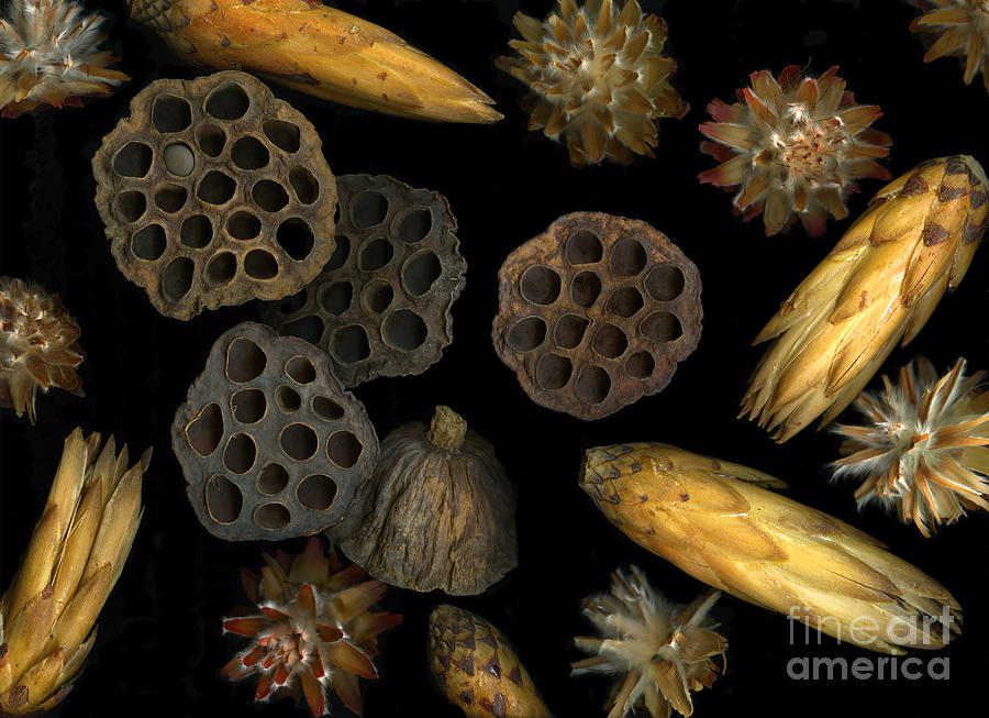 Pods Photograph - Seeds And Pods by Christian Slanec