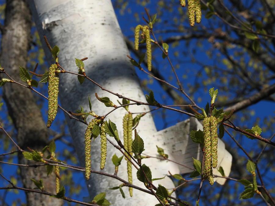 Birch Tree Photograph - Seeds by Betty-Anne McDonald