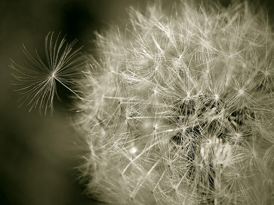 Nature Photograph - Seedy Dandelion by Mary Lane