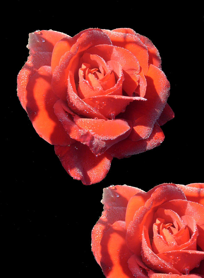 Redrose Photograph - Seeing Double by Shirley anne Dunne
