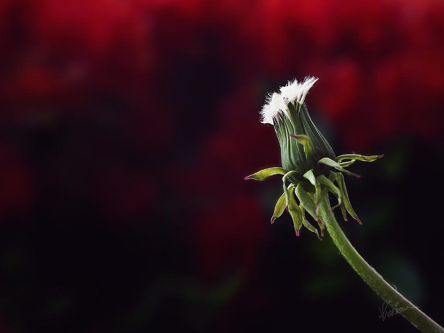 Garden Weed Photograph - Seeing red by Kharisma Sommers