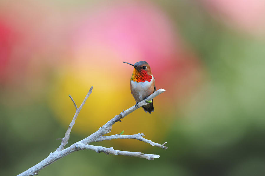 Hummer Photograph - Seeing Red by Lynn Bauer