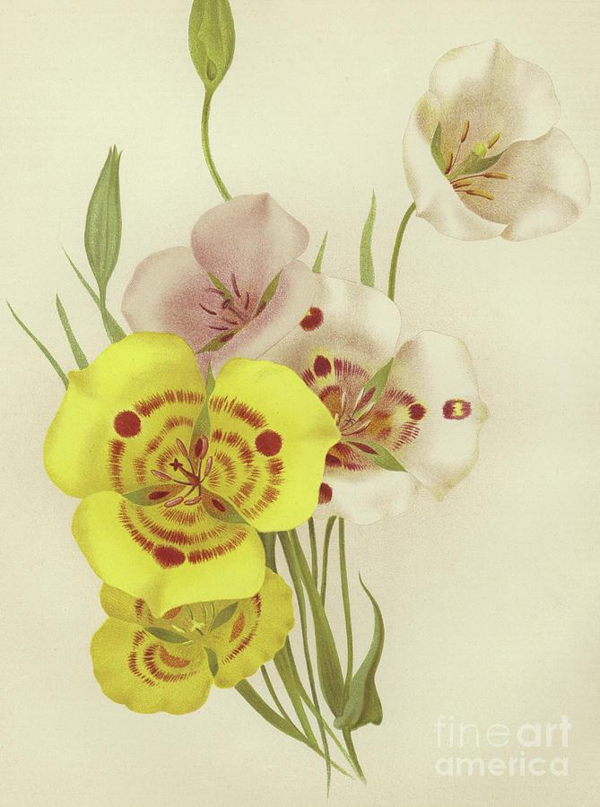 Botanical Painting - Sego Lily   Calochortus by English School