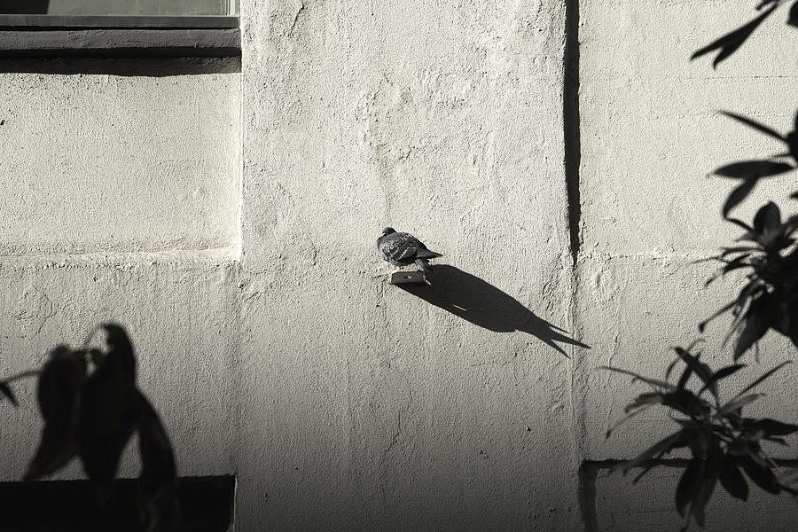 Pigeon Photograph - Self Centered by Joanna Madloch