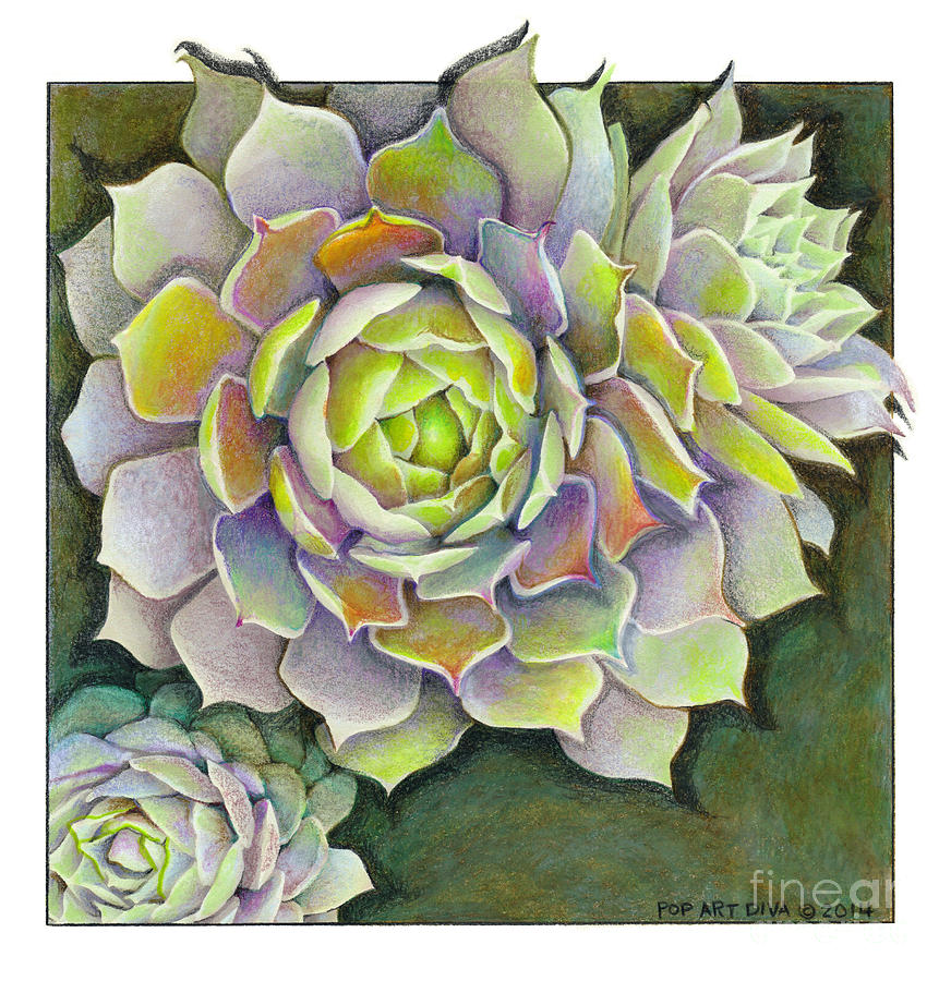 Sempervivum Pacific Blue Ice Hen And Chicks Succulent Colored