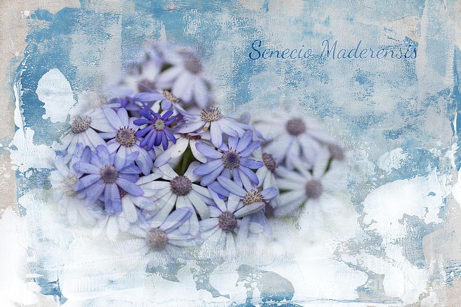 Flowers Mixed Media - Senecio Maderensis by Eva Lechner