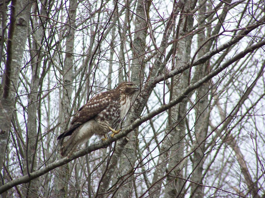 Hawk Photograph - Sentenal 3 by Laurie Kidd