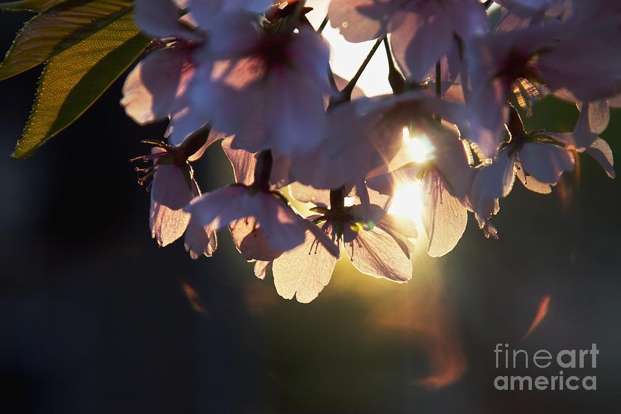 Cherry Blossom Photograph - Sentimental Blooming by Hideaki Sakurai
