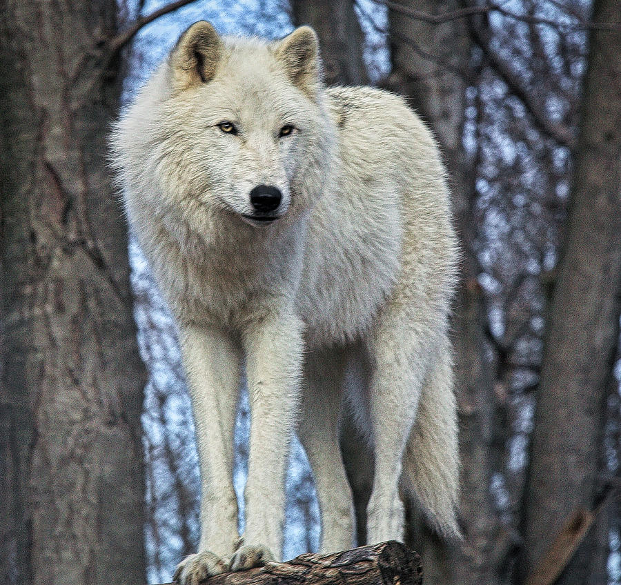 Wolf Photograph - Sentry Wolf by Ed Tepper