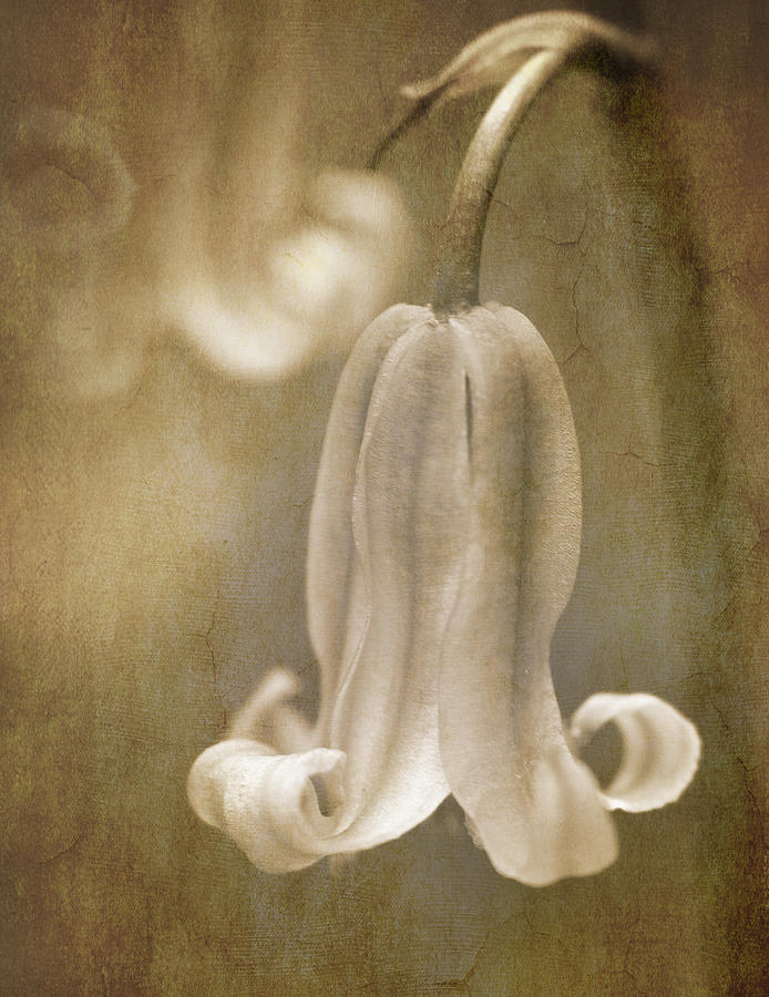 Bluebell Photograph - Sepia Bluebell by Meirion Matthias