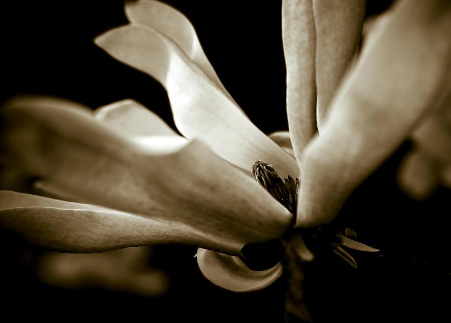 Sepia Photograph - Sepia Magnolia by Frank Tschakert