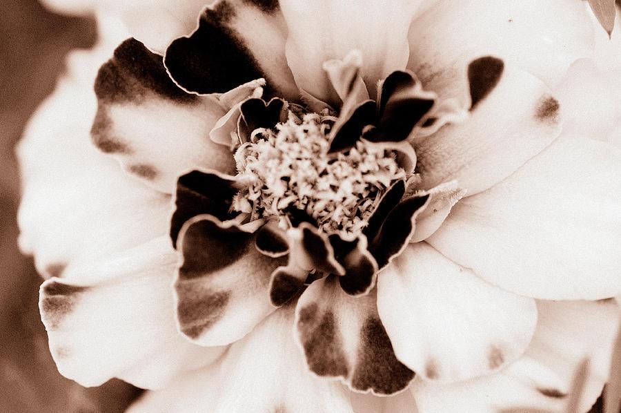 Sepia Marigold by Christine Ricker Brandt