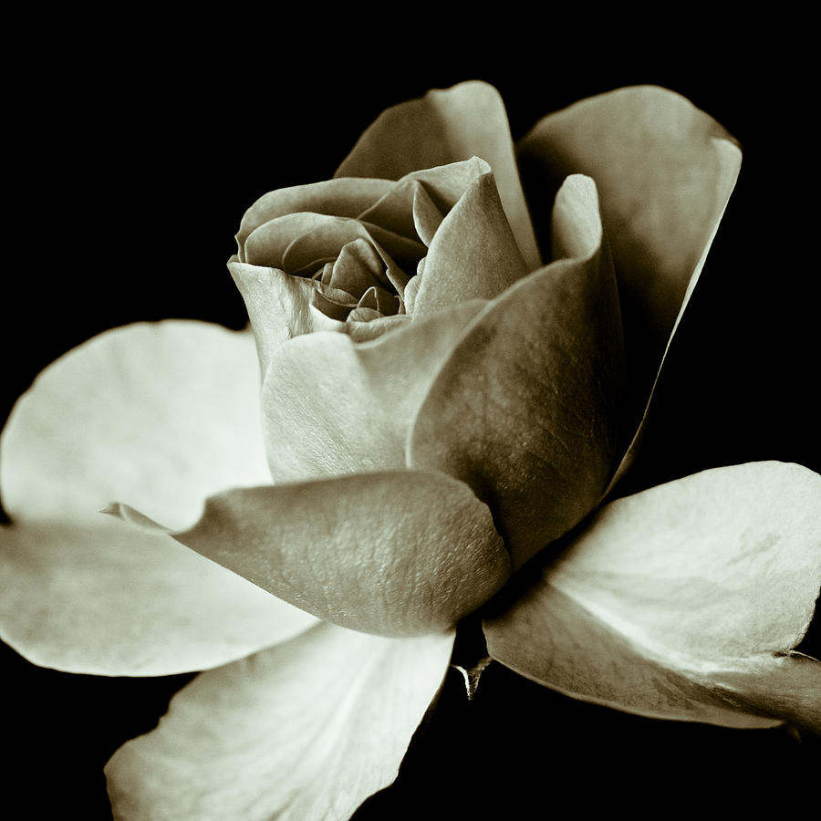 Rose Photograph - Sepia Rose by Frank Tschakert